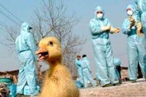 Güney Kore'de yeni kuş gribi salgını.13495