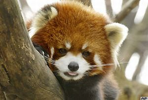 Kızıl Panda, New York'luların gözdesi oldu.14147