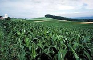 TMO, 233 bin ton mısır satacak.13806