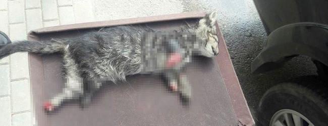 4 ayağı kesilmiş kedi bulundu!