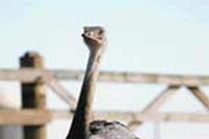 Yeni moda devekuşu çiftlikleri.26223